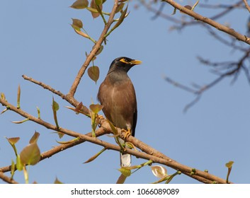 Indian mynah sitting on branch of tree