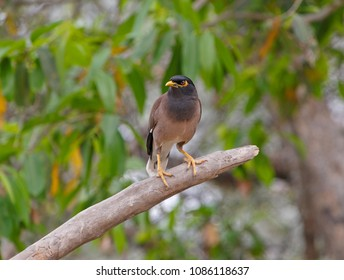 Indian mynah sitting on dry branch in Keoladeo National Park, India