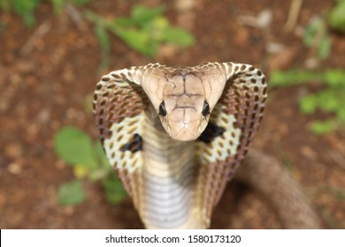 Indian cobra (Naja naja), also known as the spectacled cobra, Asian cobra, or binocellate cobra, is a species of the genus Naja found, in India
