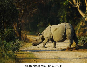 Indian one horned rhino in Kaziranga National Park of Assam in India