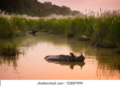 Indian one horned rhinoceros bathing in a river at dawn, in Chitwan National Park, Nepal