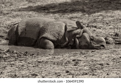 Indian One Horned Rhinoceros. Great drought. Rhino. Thirst. Black White Photography. Wildlife of India. Close up photo. Wild animals in National Parks of India. Wonderful rhino