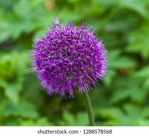Indian onion allium giganteum  flowers closeup in summer