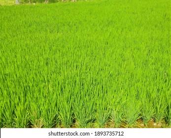 Indian organic rice field.fresh green nature landscape.. village scens.