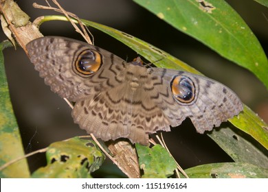 Indian Owlet Moth resting on a tree