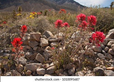 Indian Paintbrush blooming in the desert