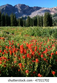 Indian Paintbrush (Castilleja rhexifolia) wildflowers - Albion Basin (near Alta and Snowbird ski resorts), Wasatch Mountains, Utah