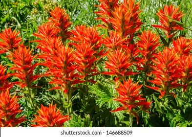 Indian paintbrush (Castilleja) wildflowers growing in Utah