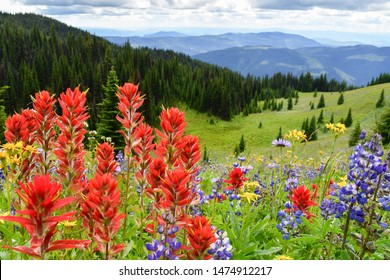 Indian Paintbrush and lupin in the foreground along with other wildflowers on the meadow in the mountains