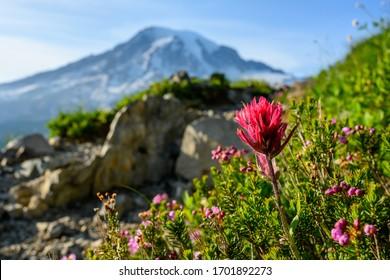 Indian Paintbrush and Mt Rainier in summer