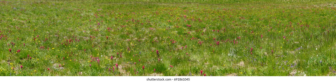 Indian paintbrush and other wildflowers at Sunrise on the eastern flank of Mount Rainier National Park, Washington