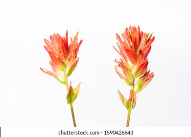 Indian paintbrush plant isolated on white.