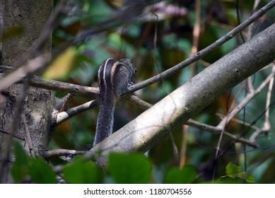 Indian palm squirrel,Sri Lanka