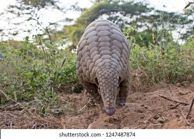 Indian pangolin or anteater (Manis crassicaudata) one of the most trafficked/smuggled wild animal for its scales
