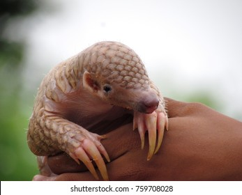 Indian pangolin baby