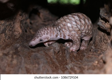 Indian Pangolin baby, infant, young