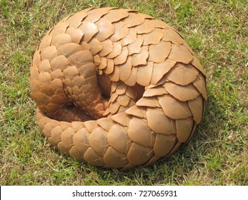 Indian pangolin Manis crassciaudata