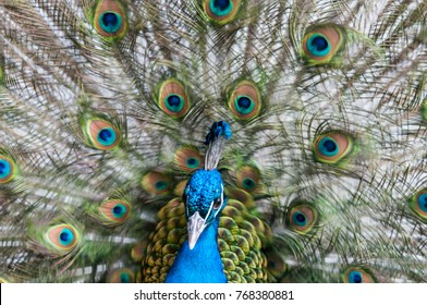 The Indian peafowl (also called blue peafowl or Pavo cristatus) with his colourful eyespots on his covert feathers.
