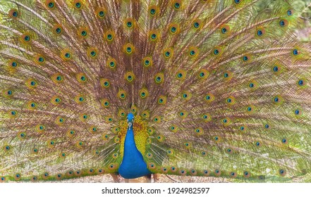Indian peafowl, the common peafowl, blue peafowl. The close-up image of the male Indian peafowl s tail is fanned. Indian peacock in full display