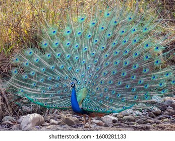 The Indian peafowl, also known as the common peafowl, and blue peafowl, is a peafowl species native to the Indian subcontinent