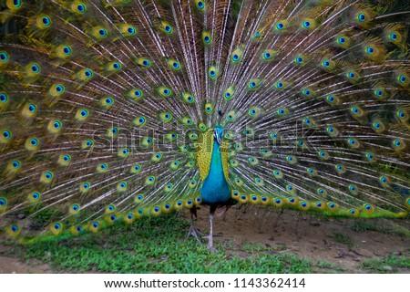 77 Koleksi Gambar Mozaik Burung Merak Yang Cantik HD