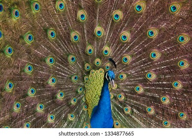 Indian peafowl (Pavo cristatus), also known as the blue peafowl.