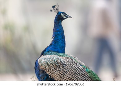 The Indian peafowl (Pavo cristatus), also known as the common peafowl