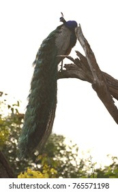 Indian peafowl resting on a tree branch against white sky in ranthambhore tiger reserve
