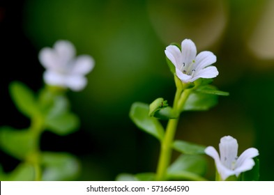 Indian pennywort, brahmi (Bacopa monnieri), flowers have properties medicine.