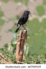 An Indian Pied Bushchat Male bird