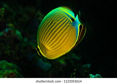 Indian pinstriped butteflyfish: Chaetodon trifasciatus, on the Wreck Point dive site, Puerto Galera, Philippines