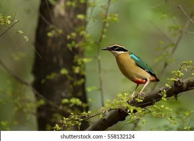 Indian Pitta at Ranthambore National Park