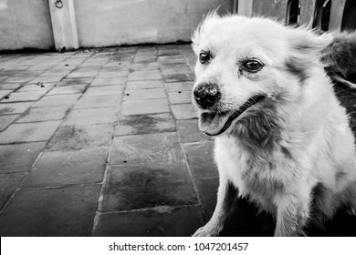 Royalty Free Indian Spitz Images Stock Photos Vectors Shutterstock