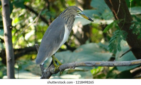 The Indian pond heron or paddybird on tree