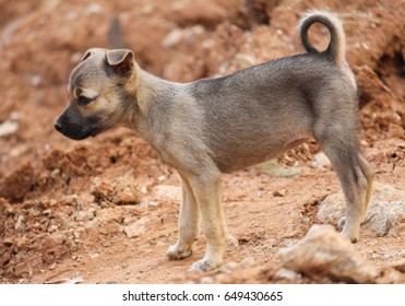 Indian Puppy