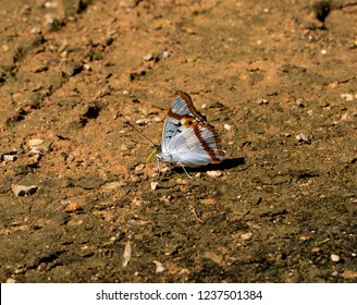 The Indian Purple Emperor butterfly enjoys having food on the rich-mineral area while expressing the side position of the amazing scale pattern and colorful wings in northern Thailand, Asia.