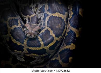 Indian Python.