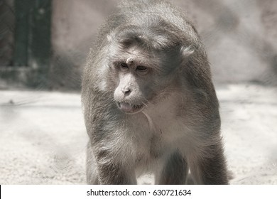 Indian Rhesus Monkey from closeup