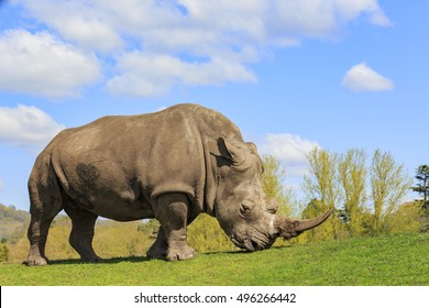 The Indian Rhinoceros in the beautiful West Midland Safari Park at Spring Grove, United Kingdom
