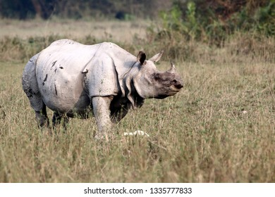 The Indian rhinoceros, also called the greater one-horned rhinoceros and great Indian rhinoceros, is a rhinoceros native to the Indian subcontinent. It is listed as Vulnerable on the IUCN Red List.
