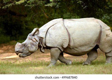 Indian Rhinoceros at Delhi Zoo.