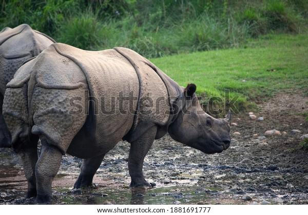 indian-rhinoceros-evenig-600w-1881691777