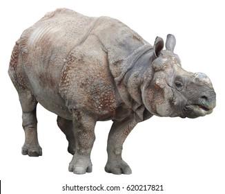 Indian rhinoceros or greater one-horned rhinoceros on white background