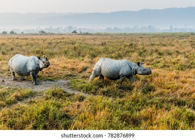 Indian rhinoceros (Rhinoceros unicornis) in Kaziranga national park, India