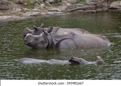 Indian rhinoceros (Rhinoceros unicornis) swimming. Wildlife animal.