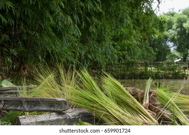 Indian Rice Cultivation