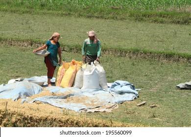 Indian Rice Harvest