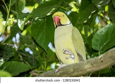 Indian ring necked parakeet sitting in a tree of thick foliage