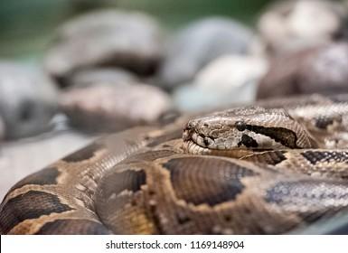 Indian rock python (Python molurus bivittatus). Tiger Python