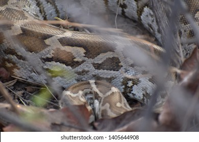 Indian Rock Python. The Indian python, Python molurus molurus, is one of two subspecies of Python molurus that exist. This is the famous snake depicted by Kipling in The Jungle Book